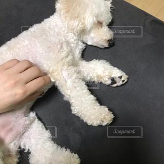 小さな白い犬を持っている手の写真・画像素材[1628687]
