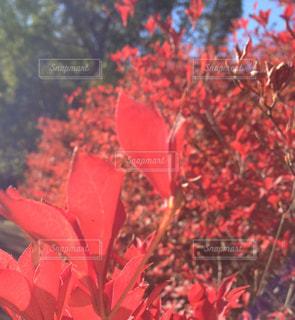 植物の赤い花の写真・画像素材[869775]