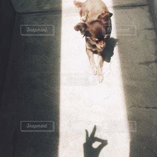 茶色と白の犬が通りを歩いての写真・画像素材[1001012]