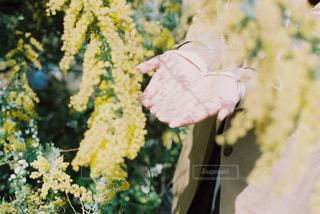 花,カメラ,植物,撮影,外,ミモザ,フィルム,フィルムカメラ
