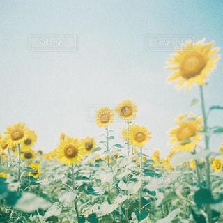 花,夏,植物,ひまわり,黄色,撮影,フィルム,summer,サマー,フィルムカメラ