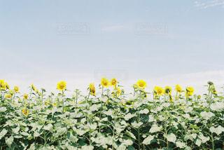 花,夏,植物,ひまわり,黄色,外,summer,サマー,フィルムカメラ