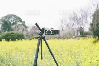 自然,風景,花,春,黄色,菜の花,景色,撮影,外,フィルム,フィルムカメラ,三脚