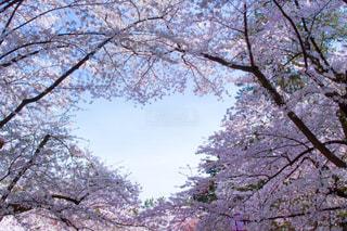 フォレスト内のツリーの写真・画像素材[1150668]
