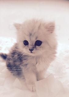 その口を開いて白猫の写真・画像素材[878628]