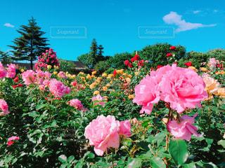 植物にピンクの花の写真・画像素材[1368779]