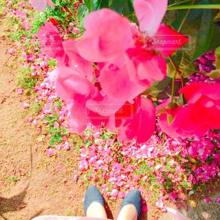 植物にピンクの花の写真・画像素材[1443743]