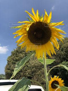 空,夏,ひまわり,向日葵,ヒマワリ,青と黄