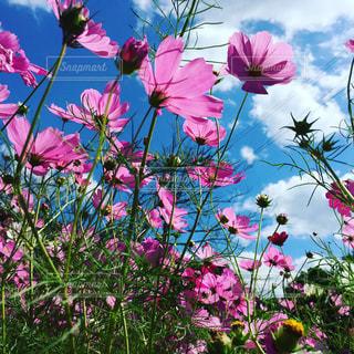 秋,ピンク,太陽,コスモス,雲,秋桜,秋空