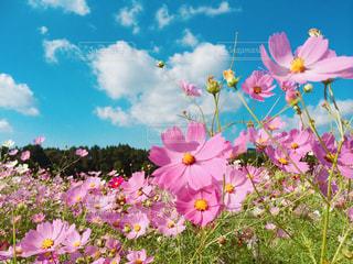 青空と秋桜の写真・画像素材[3268092]