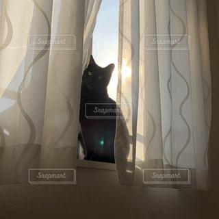 カーテンの前に座っている猫の写真・画像素材[3340494]