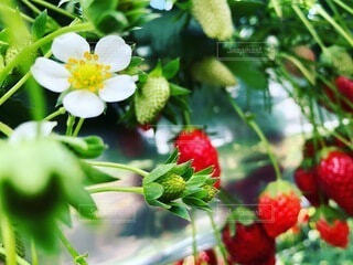苺の花の写真・画像素材[3824089]