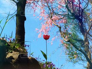 桜、菫、チューリップの写真・画像素材[4316665]