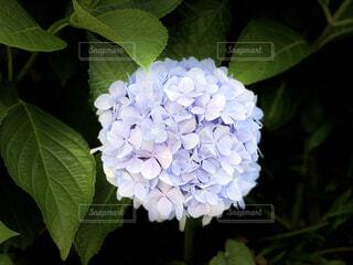 暗がりで浮かび上がる紫陽花の写真・画像素材[4577559]