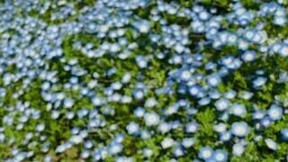 花,緑,植物,青,風,ネモフィラ,ゆらゆら,草木,揺れる,スローモーション