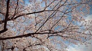 空,花,春,屋外,散歩,見上げる,樹木,草木,桜の花,さくら,ブロッサム,スローモーション