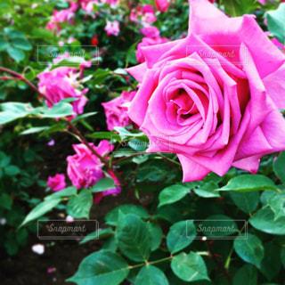 薔薇の写真・画像素材[846416]