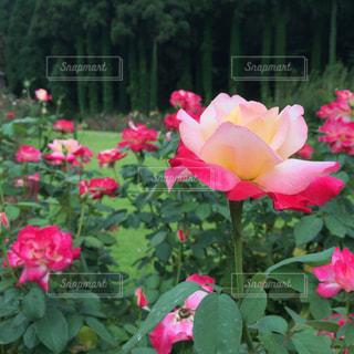 薔薇の写真・画像素材[846484]