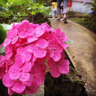 花,ピンク,紫陽花,雨上がり,梅雨