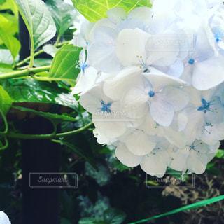 花,白,紫陽花,雨上がり,梅雨
