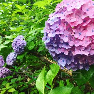紫陽花の写真・画像素材[1230297]