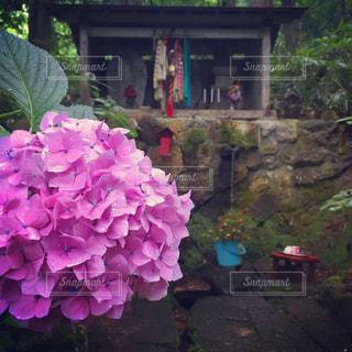 ピンク,紫陽花,雨上がり,梅雨