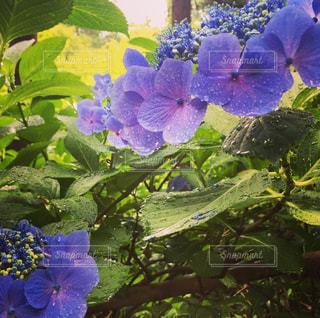 紫陽花の写真・画像素材[1236306]