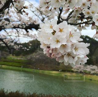 公園,春,桜,湖,水辺,池,花見