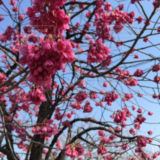 桜。の写真・画像素材[1832900]