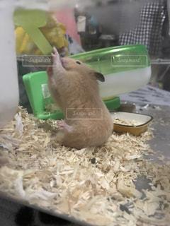 ボウルに齧歯動物の写真・画像素材[721577]
