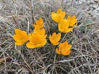 春,黄色,ガーデニング,黄色の花,イエロー,春の訪れ,春の花,庭の花,クロッカス,春を告げる