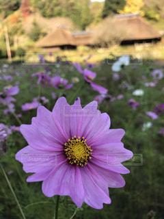 花,秋,コスモス,福岡県