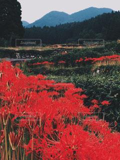 絶景,田舎,赤い花,熊本,彼岸花,段々畑,夏の風景