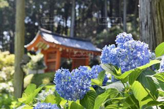 花,あじさい,花見,紫陽花,雨上がり,梅雨,デート,三室戸寺