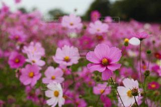 近くの花のアップの写真・画像素材[1454474]