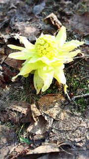 春の顔、ふきのとうの写真・画像素材[4326816]
