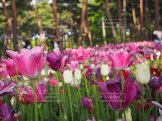 自然,花,春,お花畑,チューリップ,ひたち海浜公園