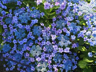 自然,花,あじさい,紫陽花,梅雨,6月
