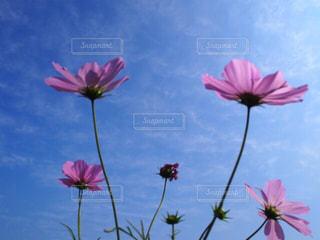 ピンクの花で一杯の花瓶の写真・画像素材[1512730]