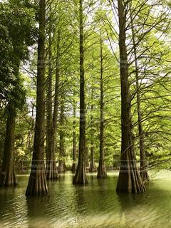 篠栗九大の森のラクウショウの写真・画像素材[853225]