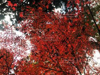雷山の紅葉の写真・画像素材[880183]