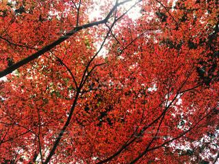 雷山の紅葉の写真・画像素材[880186]