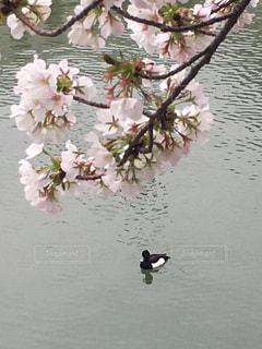 鳥,水面,キンクロハジロと桜