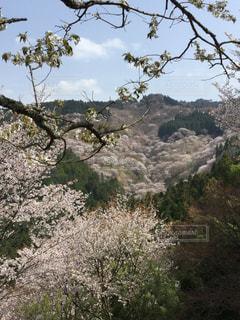奈良県,吉野山,千本桜