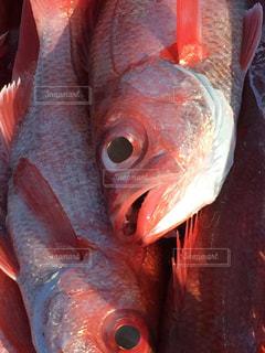 魚の写真・画像素材[697207]