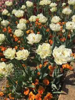 花,春,屋外,チューリップ,花絶景,群馬フラワーパーク