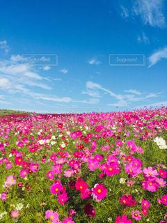 花,秋,ピンク,白,コスモス,青空,景色,ひたち海浜公園,茨城県,ひたちなか市