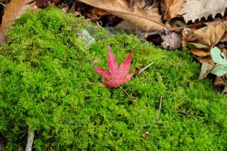紅葉と苔の写真・画像素材[862606]