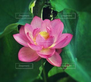 蓮の花の写真・画像素材[1207285]