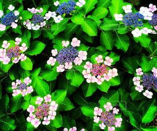 花,ピンク,緑,あじさい,紫陽花,日本,梅雨,6月,アジサイ